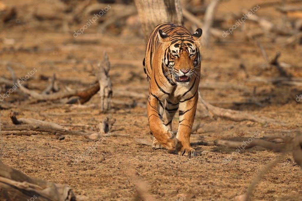 Tiger in the nature habitat.
