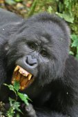 Endangered eastern gorilla on the green, rare african animal.