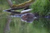 Photo Wild european beaver