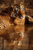 Tigers resting in water