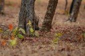 Fotografia Istrice nellhabitat naturale. Istrice indiano nella dayilight. Scena di fauna selvatica con animale molto raro e sfuggente. Animale notturno nella splendida foresta indiana. Hystrix indica