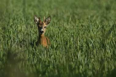 Fawn at green field in sunlight