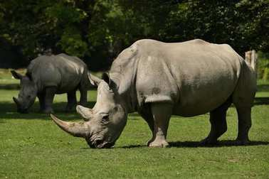 White rhinoceros in the beautiful nature looking habitat. Wild animals in captivity. Prehistoric and endangered species in zoo