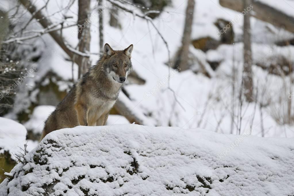 Eurasian wolf in white winter habitat, beautiful winter forest