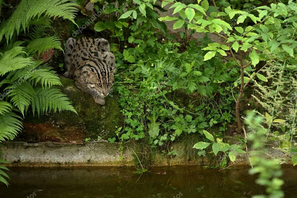 Beautiful and elusive fishing cat in the nature habitat