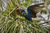 Photo close up of hyacinth macaw bird on green palm tree in nature habitat
