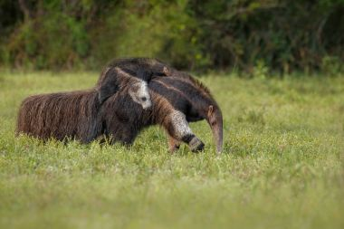 Wild ant-eater with baby walking in nature habitat