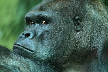 Endangered eastern gorilla, close up view