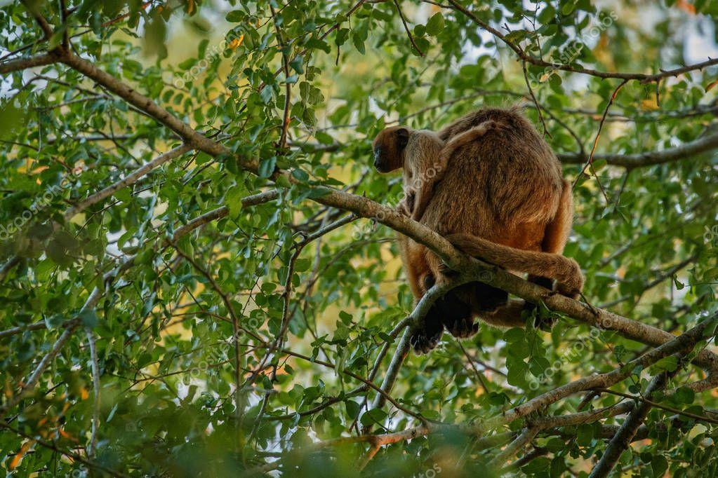 Howler monkeys on giant tree in brazilian jungle. South american wildlife.
