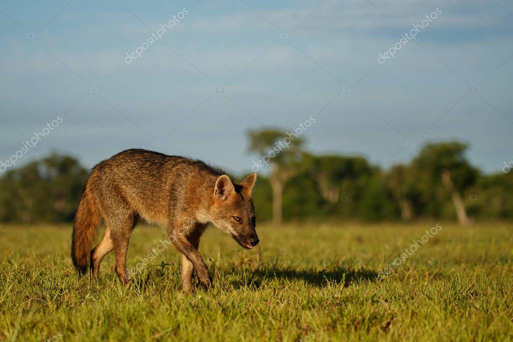Wild crab eating fox in Brazilian pantanal