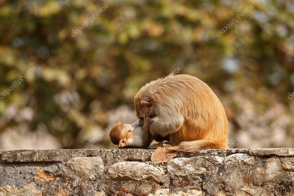 Macaque rhesus with baby sitting on wall with beautiful blurry background. Wildlife scene, India. Macaca mulatta.