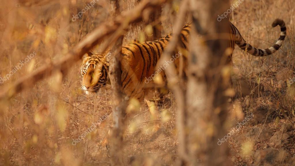 Royal bengal tiger in nature habitat. Wildlife scene
