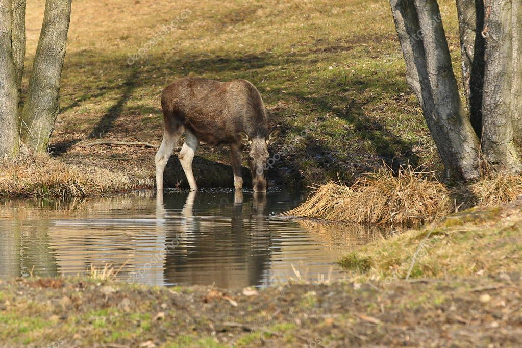 Eurasian elk drinking water in autumn forest