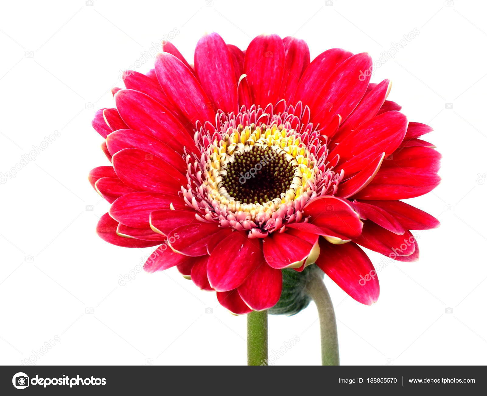 Pink Gerbera Daisy Flower Isolated White Background Stock Photo
