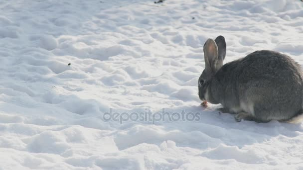Large gray rabbit chews a piece of carrot in the cold snow.