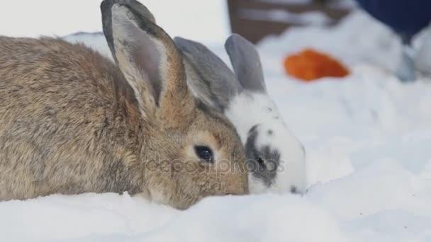 Dva králíky v sněhu jíst zelí venku v parku