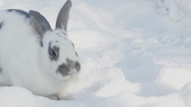 Große flauschige Kaninchen frisst Kohl Blattflecken auf dem weißen Schnee