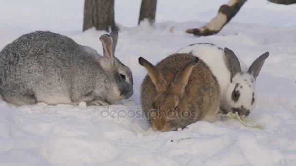 Drei süße zottigen Kaninchen, die andere Farbe kauen auf Schnee Kohlblätter.