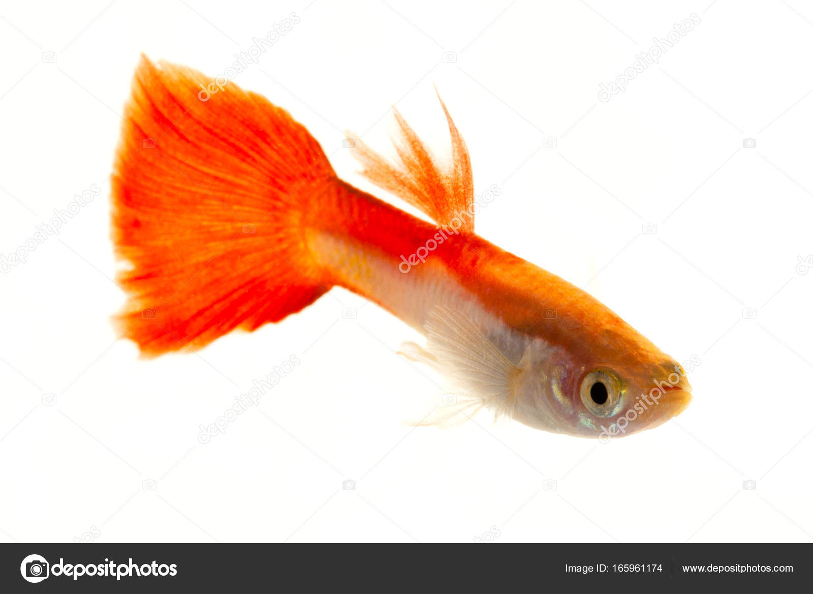 Colourful Guppy Fish — Stock Photo © mindstorm #165961174