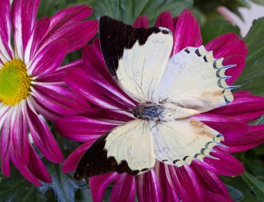 Jewel Nawab Butterfly