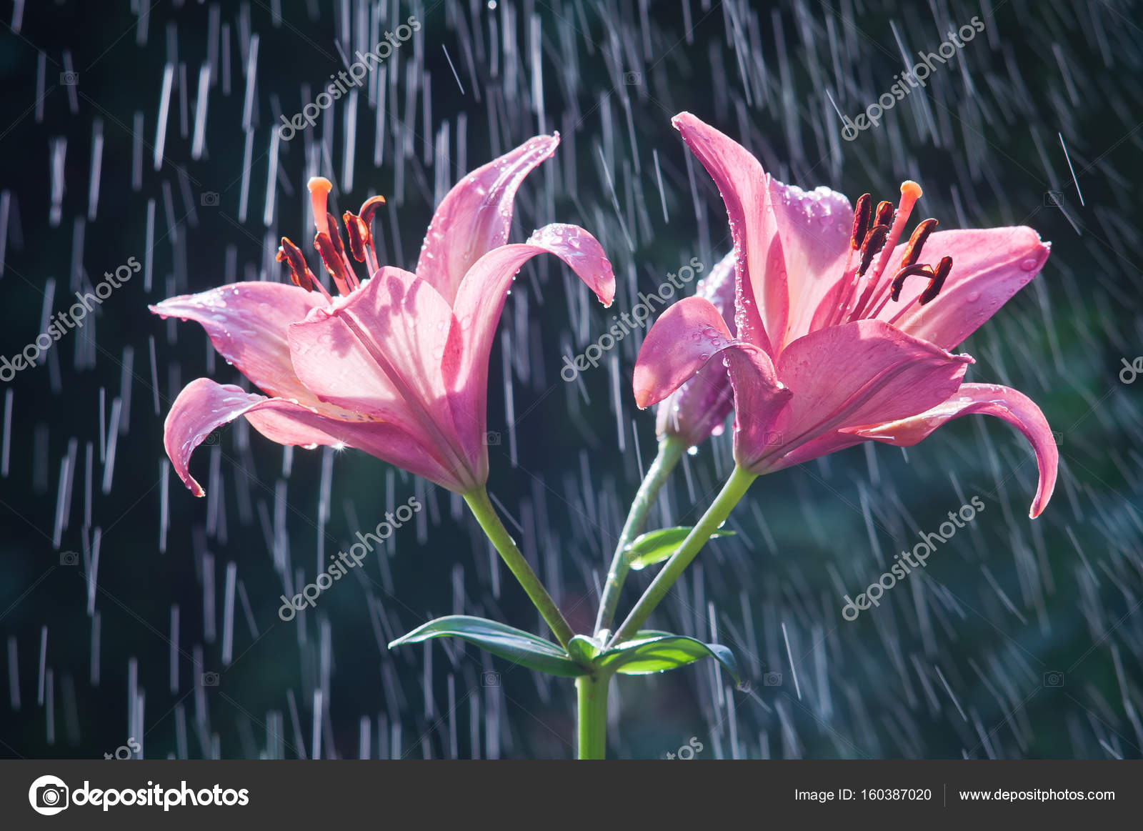 Flowers of purple lilies against the background of rain tracks flowers of purple lilies against the background of rain tracks stock photo izmirmasajfo