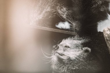 endangered binturong animals