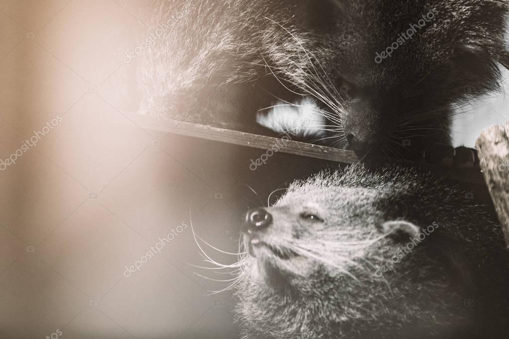 endangered binturong animals