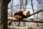 Portrait of red panda cat bear lying on tree