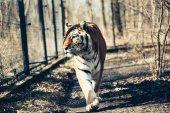 Fotografie Portrait of big strong tiger walking in forest