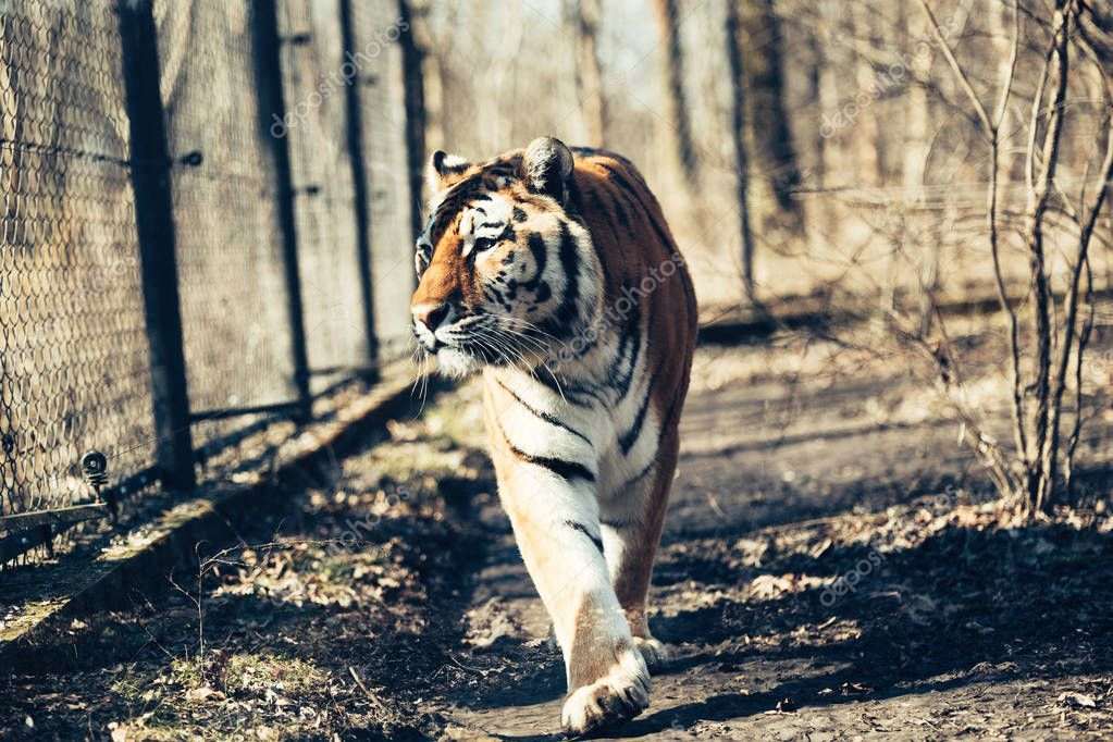 Portrait of big strong tiger walking in forest