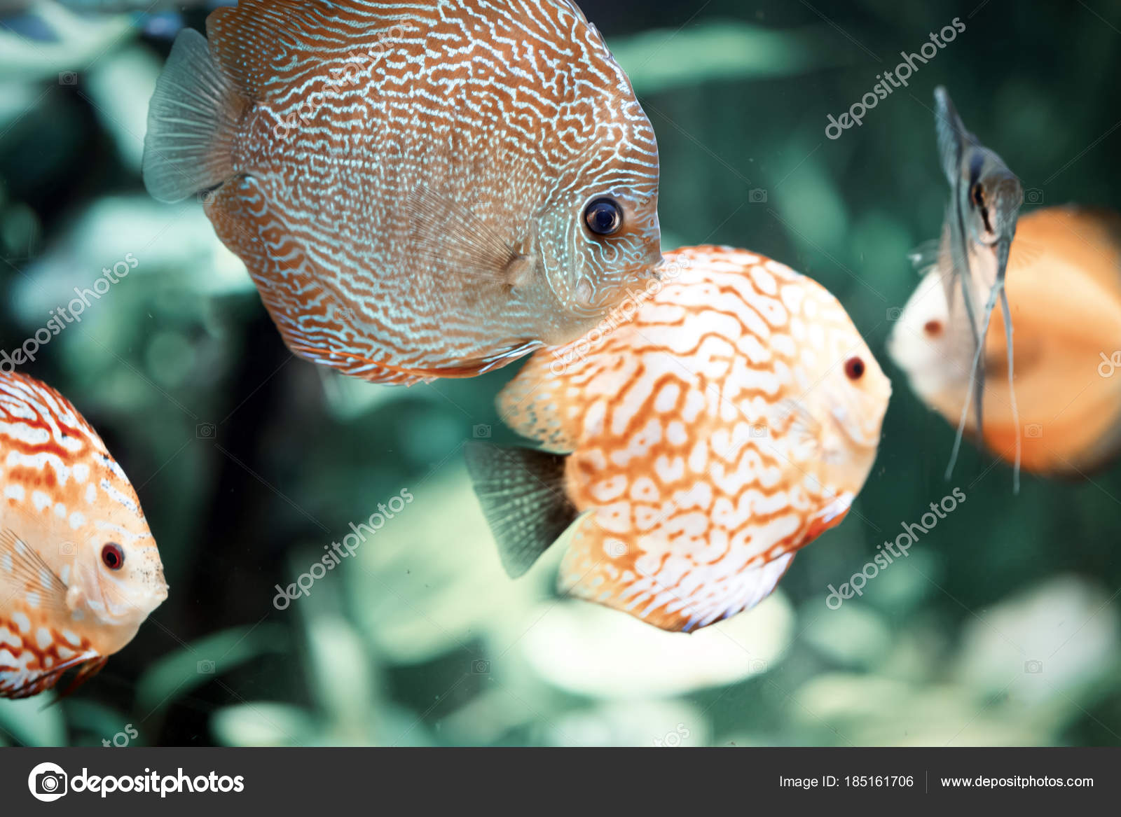 Colorful Discus Symphysodon Aequifasciatus Discus Some Most ...