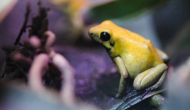 poisonous frog, poison dart frog terribilis a dangerous animal from the tropical rain forest. Toxic amphibian with bright yellow and orange colors