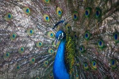 beautiful peacock displaying his colorful tail, zoo, Tbilisi