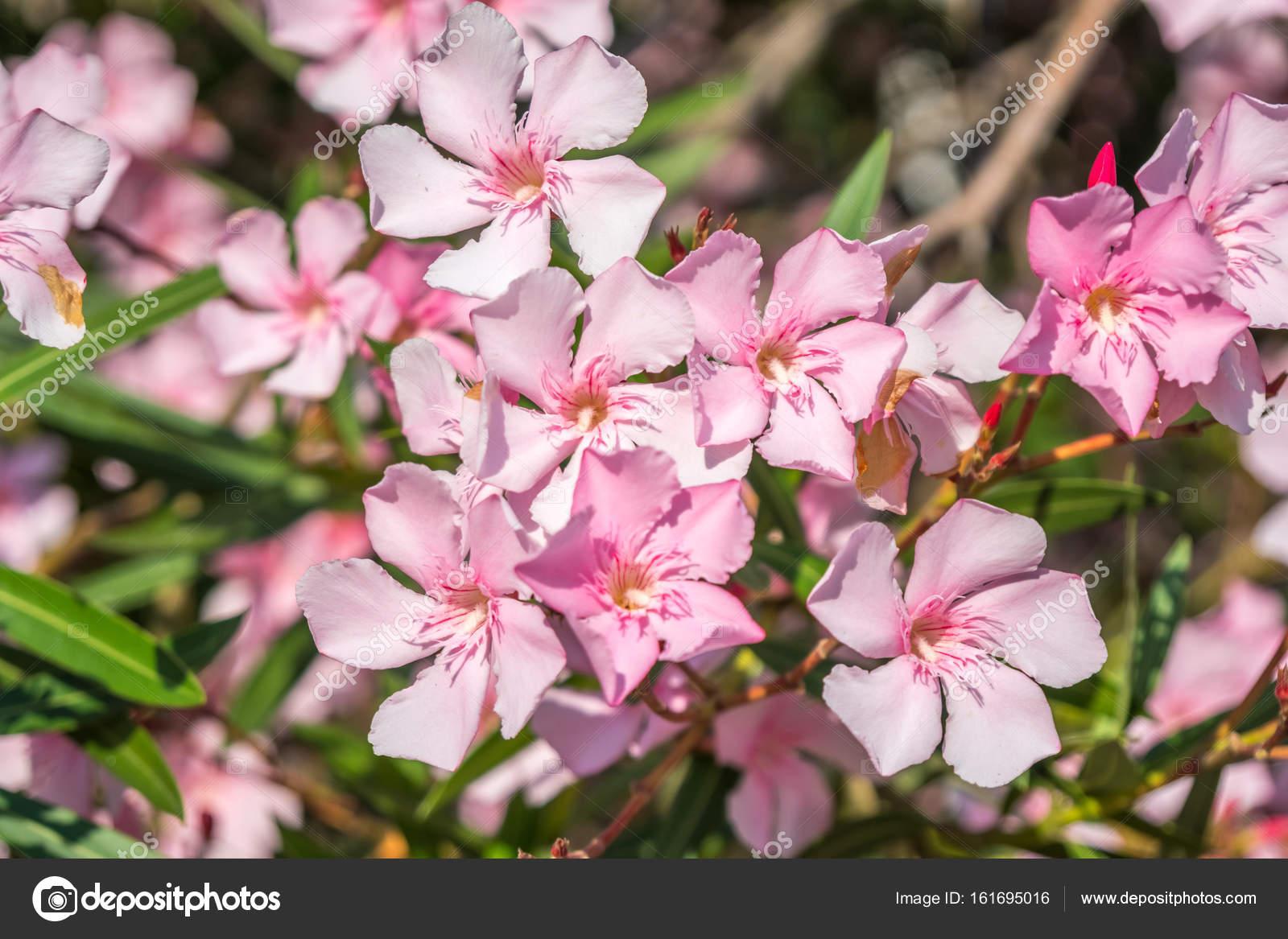 Beautiful pink nerium oleander flowers on bright summer day stock beautiful pink nerium oleander flowers on bright summer day stock photo mightylinksfo