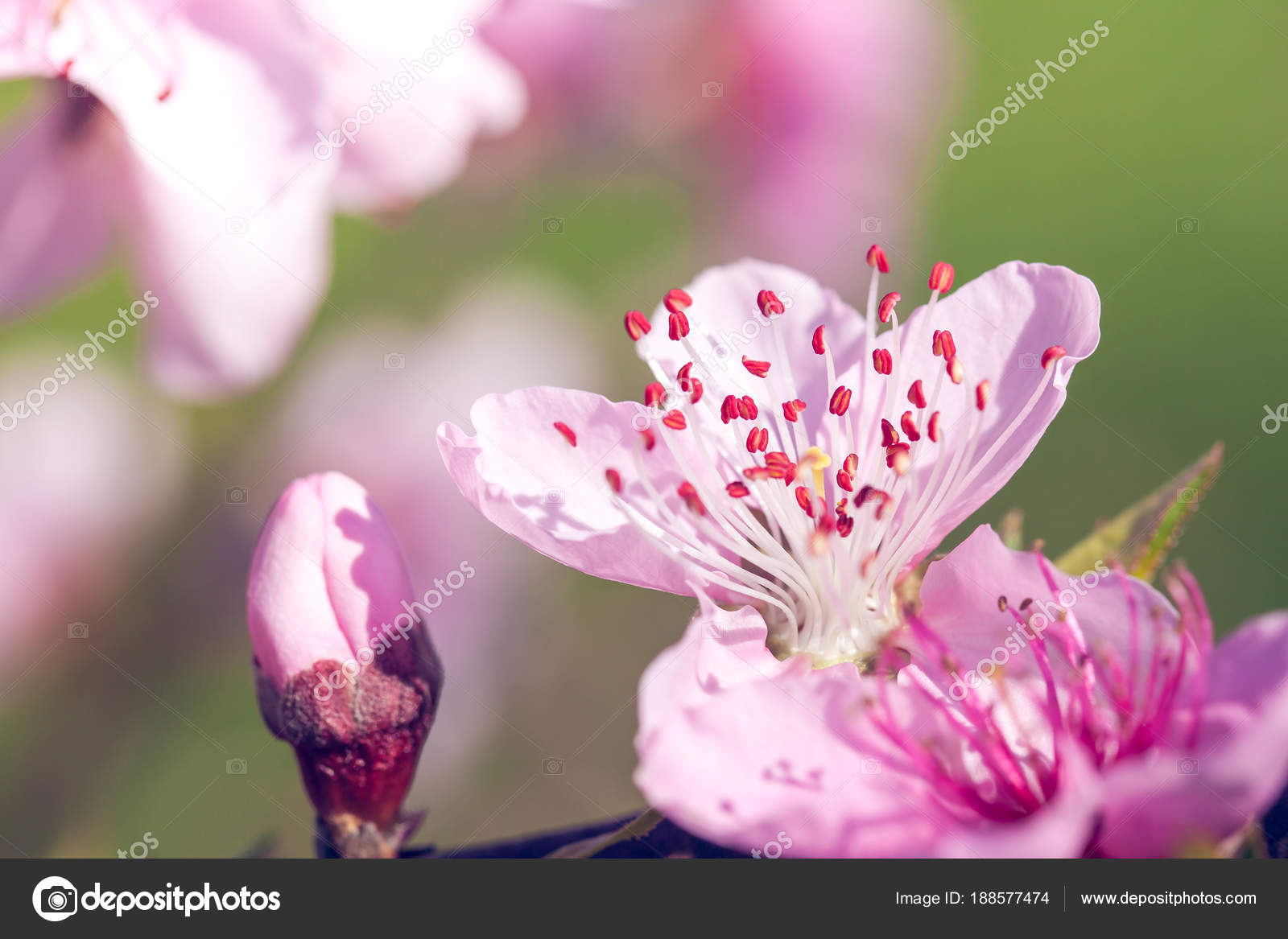 Close Up Of Pink Peach Blossom Flowers On Tree Branch Spring Ti