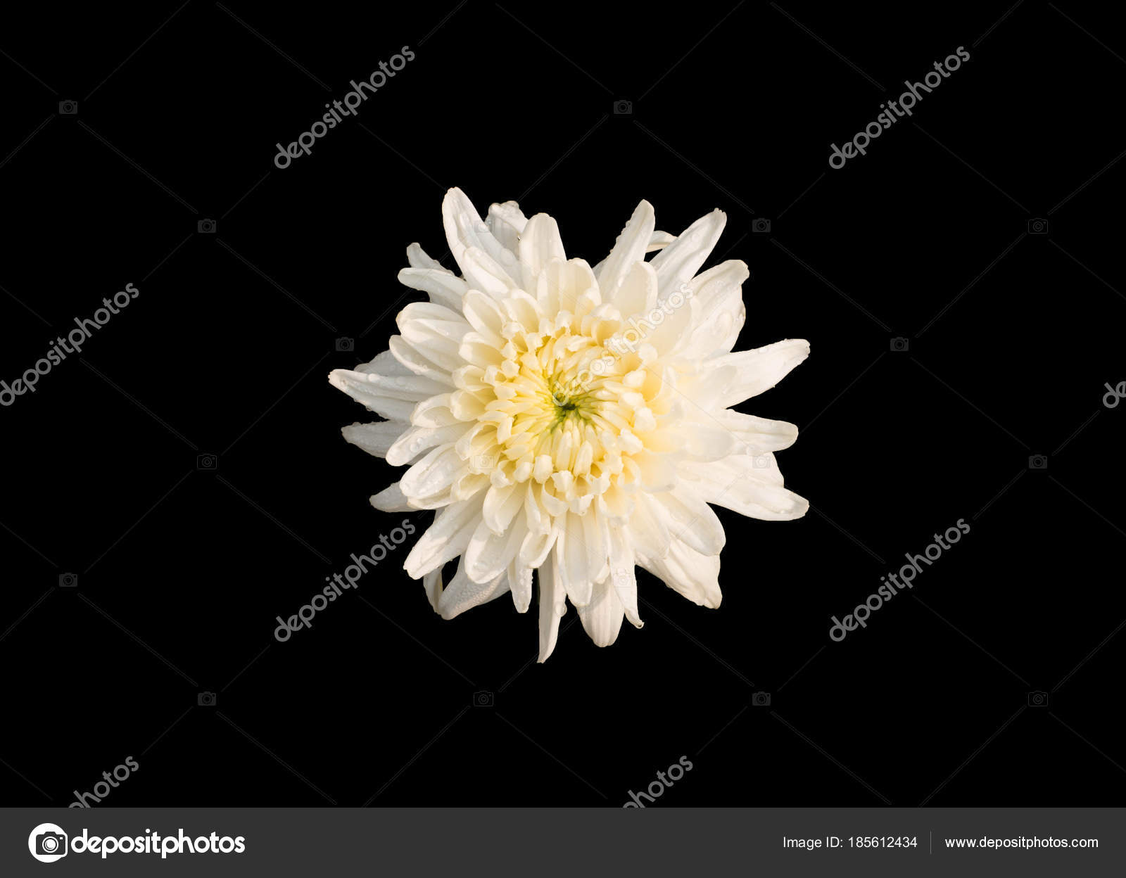 Isolated white chrysanthemum flower stock photo lamaip 185612434 isolated white chrysanthemum flower stock photo mightylinksfo