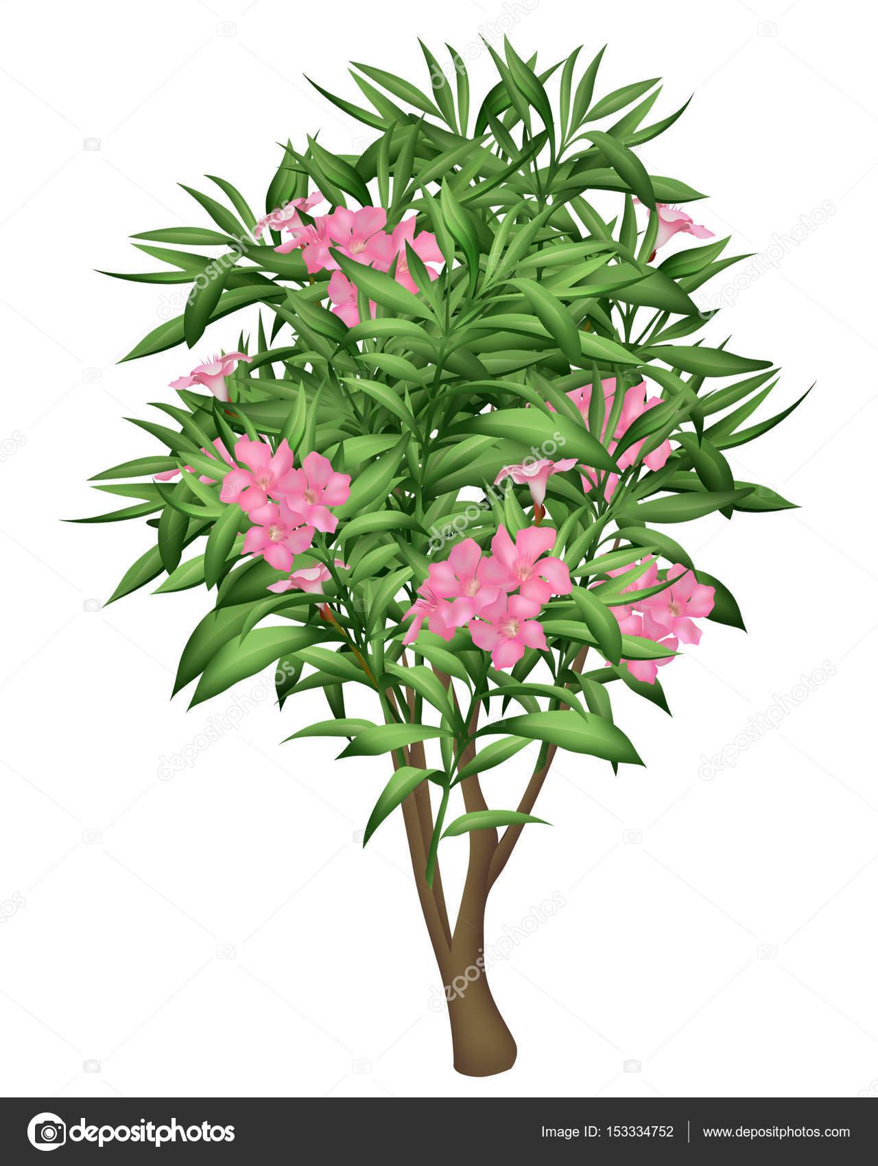 Oleander Tree With Pink Flowers Stock Photo Raketic 153334752