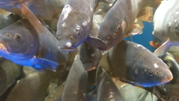 viele lebende Fischkarpfen, schwimmen im Aquarium auf dem Markt zum Verkauf.