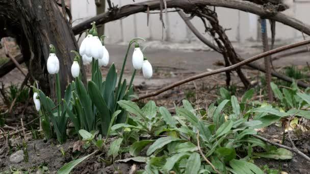 Malé bílé jarní květy sněžení nebo obyčejné sněžení Galanthus nivalis je jarní symboly. Na dvorku nebo na zahradě. Časný jarní květ. Houpe se ve větru. Selektivní zaměření.