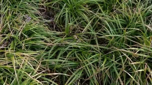Zöld fű lengett a szélben. Hosszú fű lengett a farmon vagy a mezőn. Absztrakt természeti háttér. Jobbra fordulok. Közelkép.