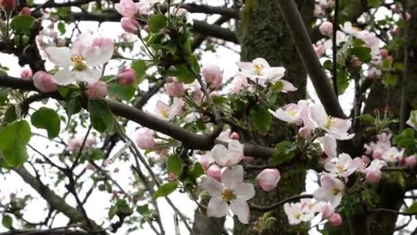 Branch of apple in blossom with white flowers on sunny day sways in wind in springtime. Close-up.