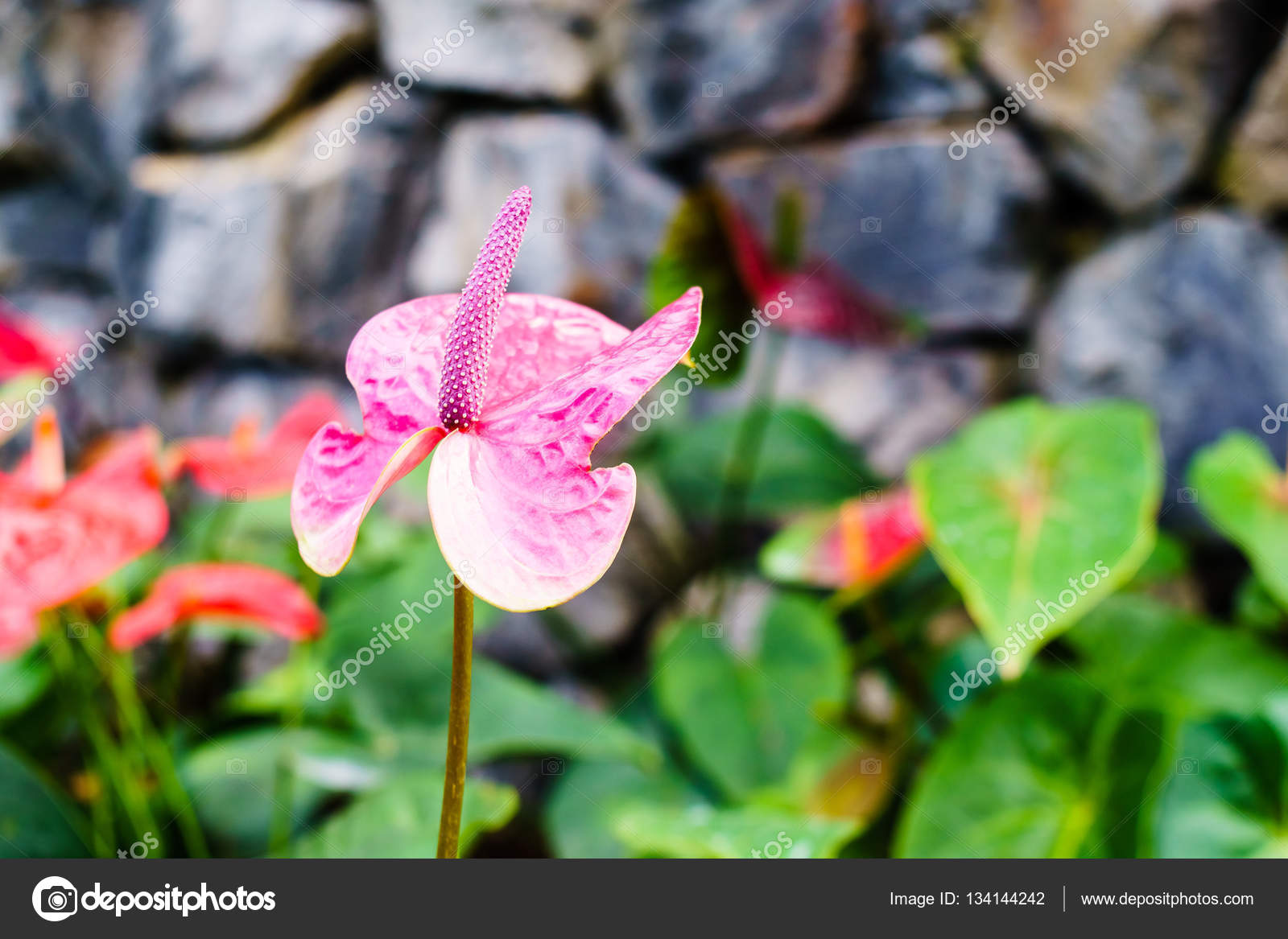 Beautiful Bright Pink Flamingo Flowers Close Up Stock Photo