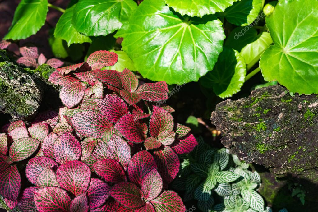 Colorful beautiful pink green leaves of nerve plant or mosaic pl