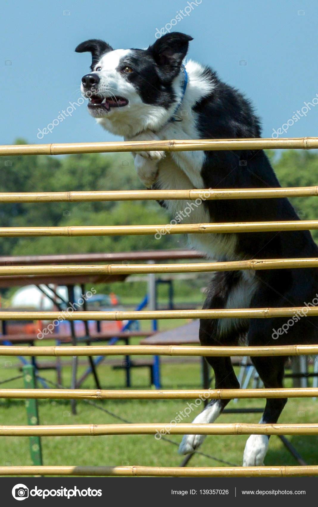 Fotos de perros show show 9