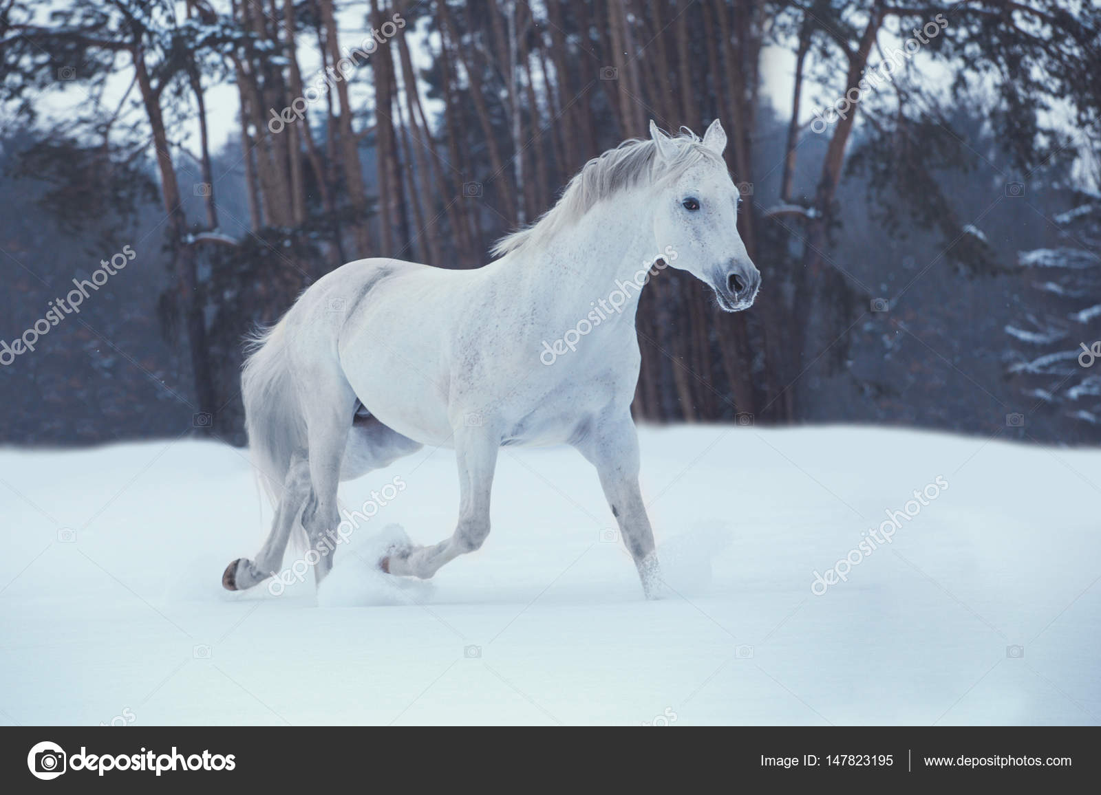 White Horse Runs On Snow On Forest Background Stock Photo C Ashva Pictures 147823195