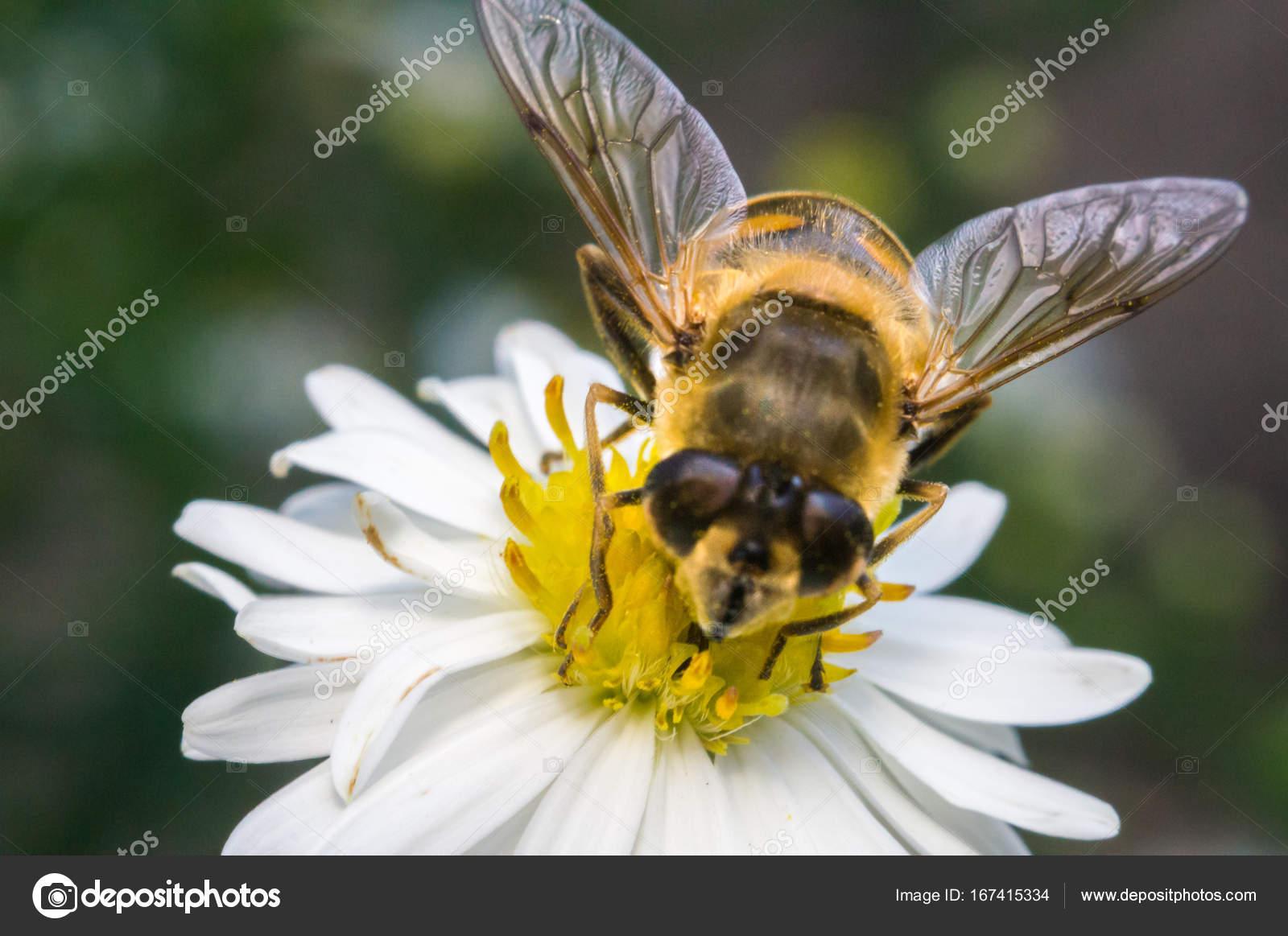 Flor blanca flor con abeja en el jardín en primavera verano con brillo de  sol — Foto de y6uca 1bcffe27796