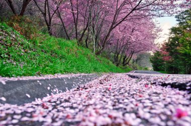 Sakura trees in bloom
