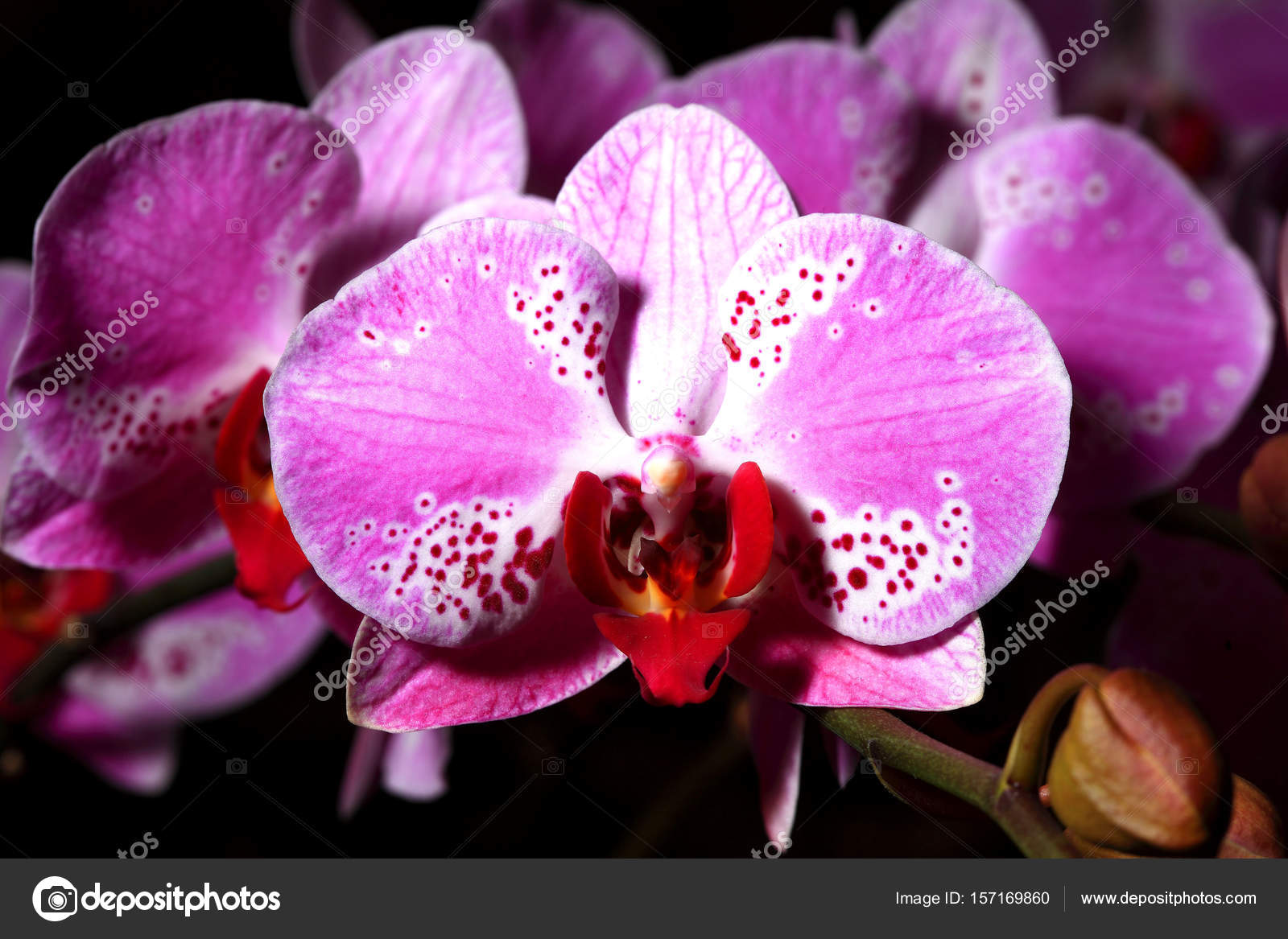 Beautiful orchid flowers stock photo topphoto 157169860 beautiful orchid flowers stock photo izmirmasajfo