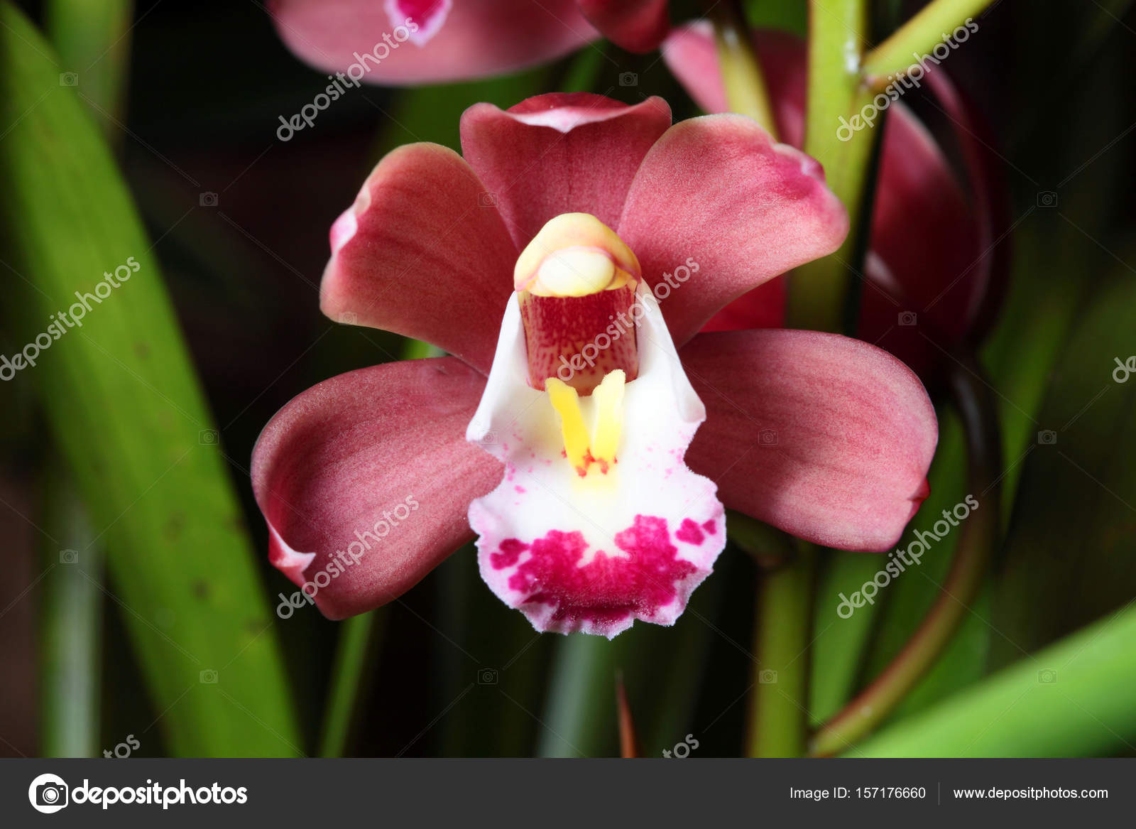 Orchid Flowers Close Up Stock Photo Topphoto 157176660