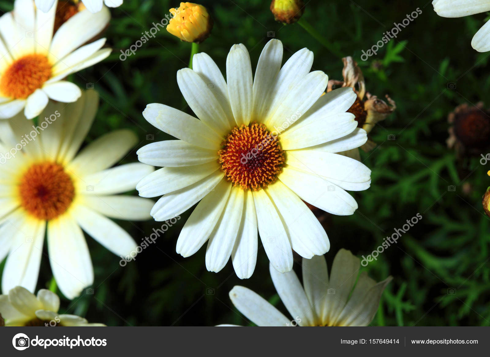 Beautiful daisy flowers stock photo topphoto 157649414 beautiful daisy flowers close up photo by topphoto izmirmasajfo